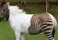 279176-zebra-and-horse-crossbreed